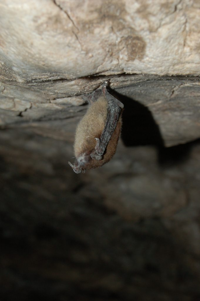 Bat hanging in cave with white fungus around nose